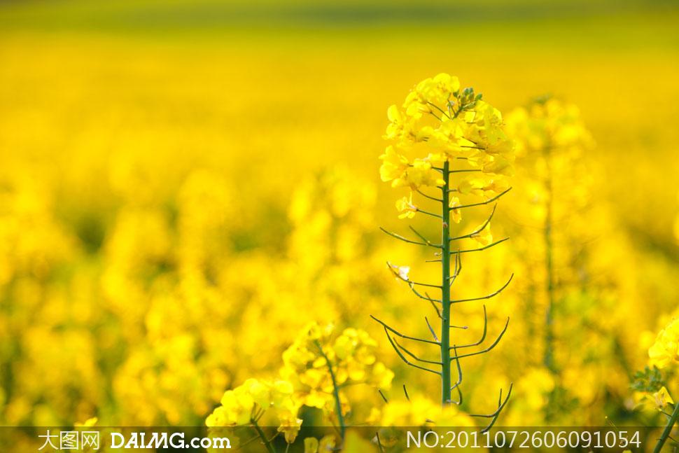 高清大图摄影图片素材春天春景自然风光风景油菜花黄色朦胧景深模糊