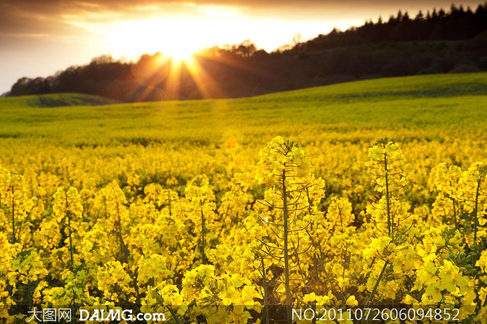 关键词: 高清大图摄影图片素材春天春景自然风光风景油菜花黄色植物田
