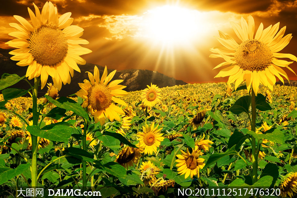 阳光照耀下的向日葵地风景高清摄影图片