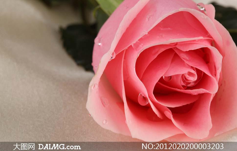 玫瑰花图片大全大图_图片大全