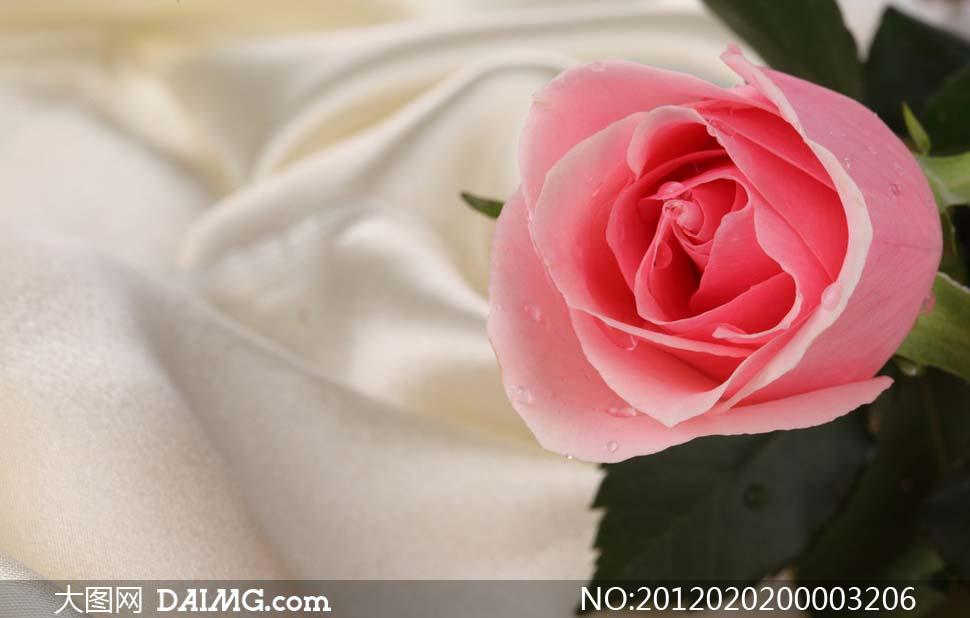 胡歌玫瑰花丛图片