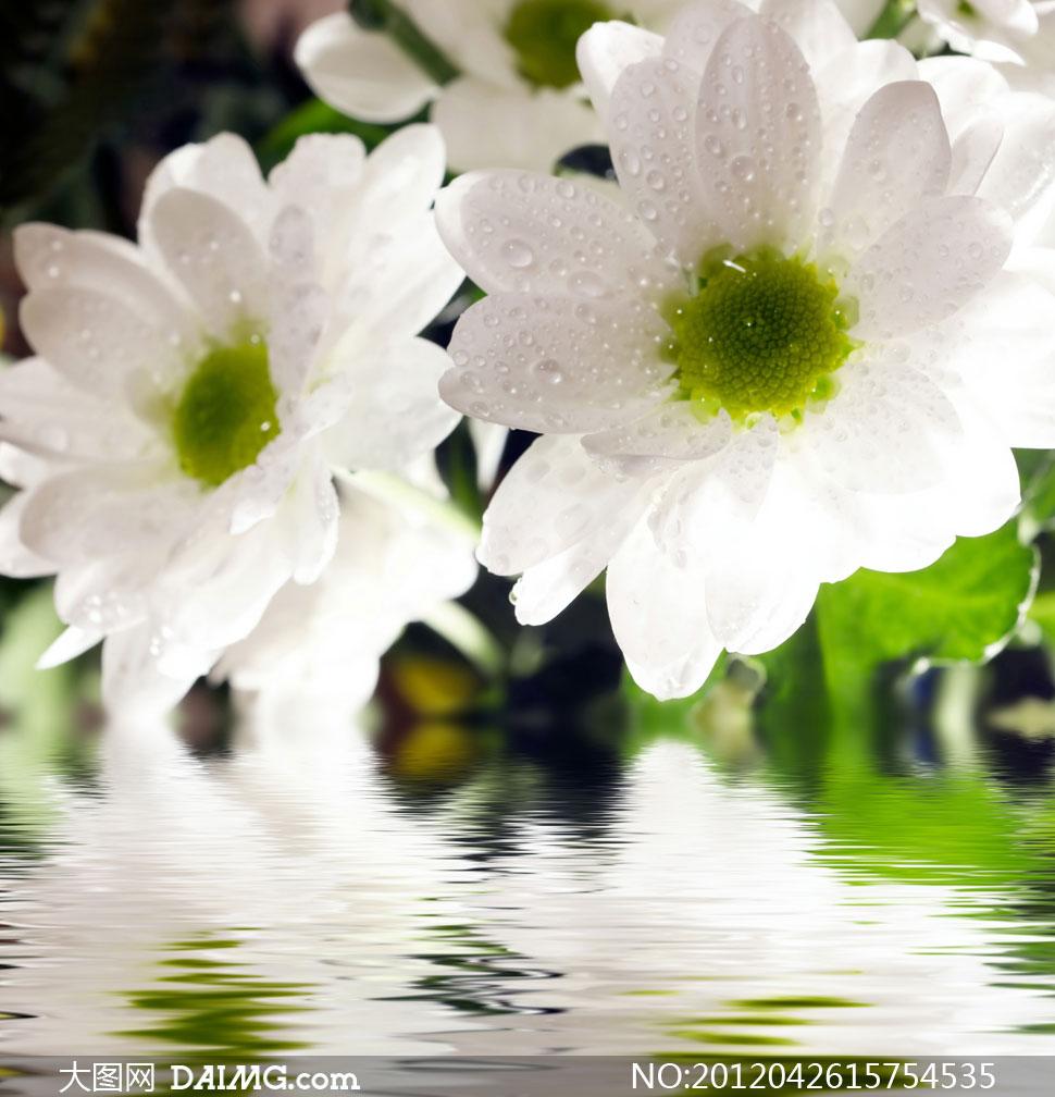 花朵鲜花花卉倒影涟漪水面波澜波纹水波白色水珠雏菊