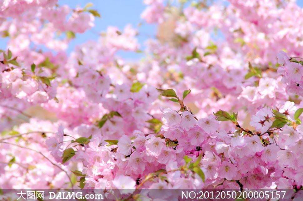 粉紅色櫻花背景攝影圖片