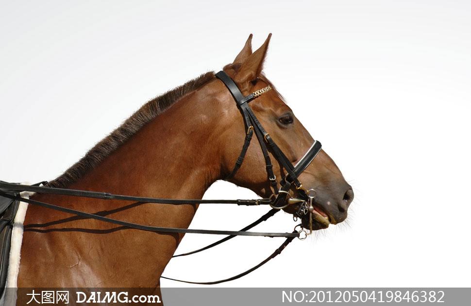 特写摄影高清图片下载; 关键词: 高清摄影图片大图素材马匹骏马动物