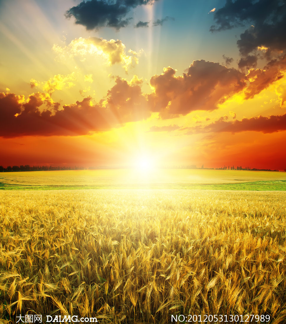 阳光下的金黄色麦田摄影高清图片 - 大图网设计素材