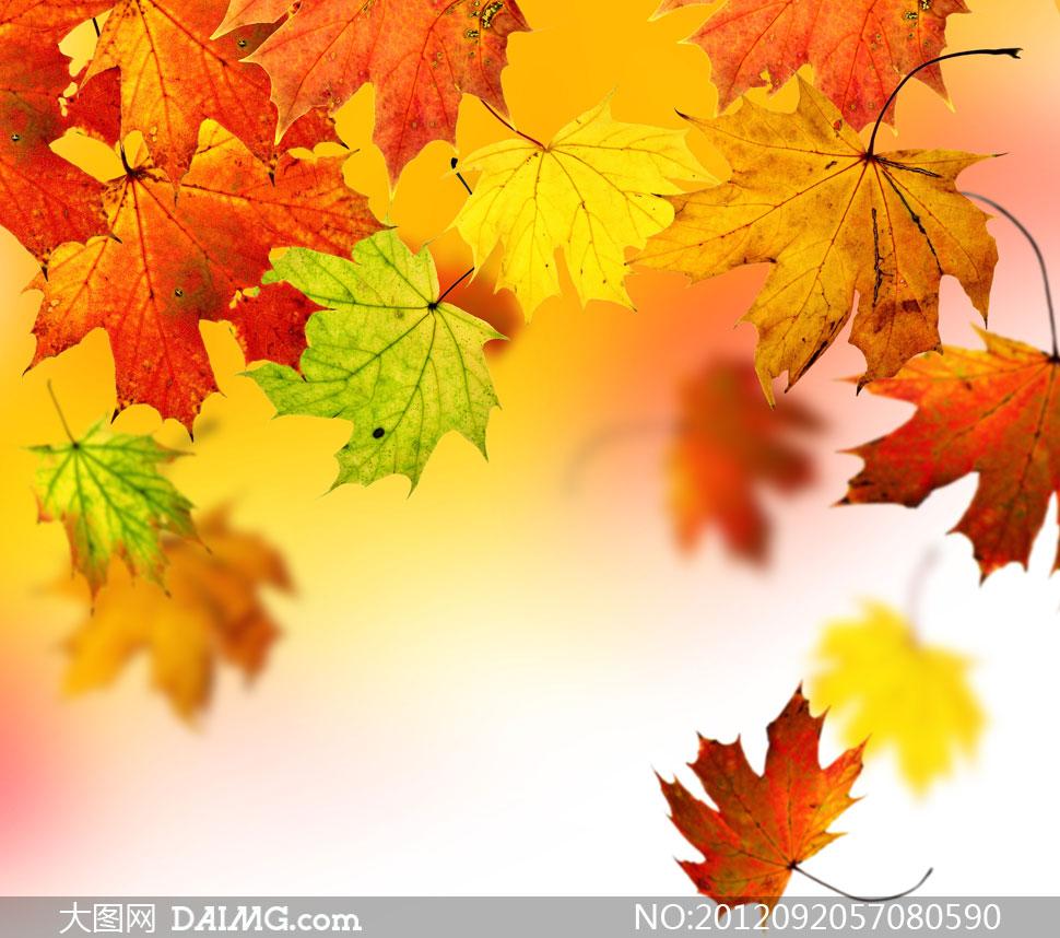 秋天的树叶图片 秋天的树叶 秋天的树叶作文图片