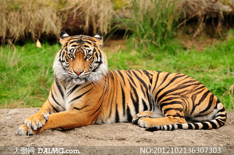 老虎图片大全 动物图片 热图网